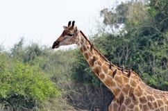 Giraf in het Nationale Park van Chobe, Botswana Stock Afbeelding