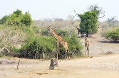 Giraf in het Nationale Park van Chobe, Botswana Royalty-vrije Stock Afbeeldingen