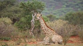 Giraf het rusten stock footage