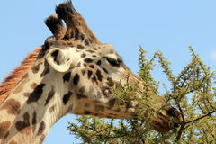 Giraf het voeden Royalty-vrije Stock Afbeeldingen