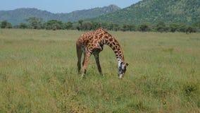 Giraf in het Weiland die Gras eten die Zijn Front Legs Out To The-Kanten uitrekken stock footage