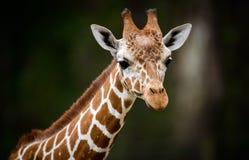 Giraf hoofdportret Stock Foto