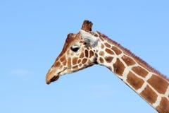 Giraf, jirafa, camelopardalis Royalty-vrije Stock Fotografie