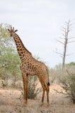 Giraf in Kenia royalty-vrije stock foto's