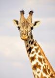 Giraf in Kenia, safari in Afrika royalty-vrije stock fotografie