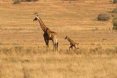 Giraf med kalven i Afrika Arkivbild