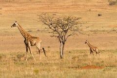 Giraf med kalven i Afrika Royaltyfri Fotografi