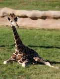 Giraf met een netvormig patroon Stock Afbeeldingen