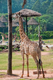 Giraf met een yummy boom Stock Foto