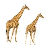 Giraf met jonger geïsoleerd op witte achtergrond royalty-vrije stock afbeeldingen