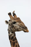 Giraf met rood-gefactureerde Oxpecker Royalty-vrije Stock Fotografie