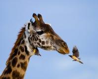 Giraf met vogel kenia tanzania 5 maart 2009 Stock Afbeelding