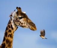 Giraf met vogel kenia tanzania 5 maart 2009 Royalty-vrije Stock Afbeelding
