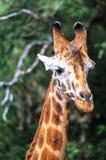 Giraf in Nairobi Kenia royalty-vrije stock foto