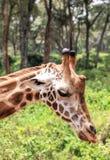 Giraf in Nairobi Kenia royalty-vrije stock afbeeldingen