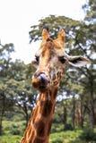Giraf in Nairobi Kenia royalty-vrije stock foto's