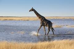 Giraf - Namibië stock fotografie