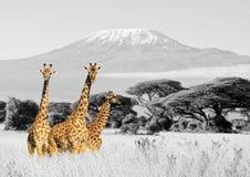 Giraf in nationaal park van Kenia Stock Afbeeldingen