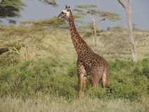 Giraf in Nationalpark Serengeti, Tansania stockfoto