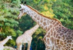 Giraf no jardim zoológico Fotos de Stock Royalty Free