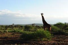 Giraf in het struikland van Afrika Stock Fotografie