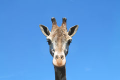 Giraf op blauwe hemelachtergrond Stock Foto