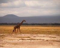 Giraf op de savanne Stock Foto's
