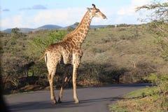 Giraf op de weg met zijn uit tong Stock Foto