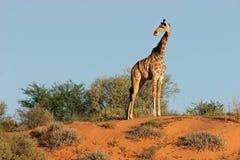 Giraf op duin Stock Afbeelding