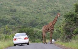 Giraf op een weg stock foto