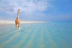 Giraf op vakantie Stock Afbeeldingen
