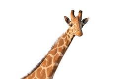 Giraf op wit stock afbeelding