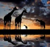 Giraf over zonsopgang royalty-vrije stock afbeeldingen