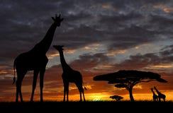 Giraf over zonsopgang royalty-vrije stock foto
