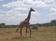 Giraf, parque tanzaniano do safari Imagens de Stock Royalty Free