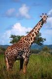 Giraf in safari Stock Fotografie