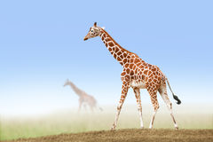 Giraf in savanne Royalty-vrije Stock Afbeeldingen