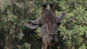 Giraf schoonmakende neusgaten met tong stock footage