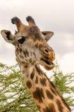 Giraf, Serengeti Stock Afbeelding