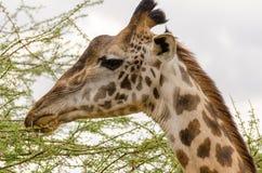 Giraf, Serengeti Royalty-vrije Stock Foto