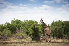 Giraf in Swasiland stock foto's
