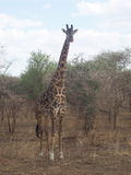 Giraf Tanzânia Imagem de Stock Royalty Free