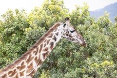 Giraf in Tanzania stock afbeelding