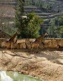 Giraf twee royalty-vrije stock afbeeldingen