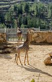 Giraf twee stock fotografie
