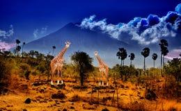 Giraf twee in savanne Stock Foto's