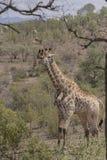 Giraf, Ungulate Zoogdier, die zich zij aan zij bevinden royalty-vrije stock foto