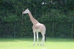 Giraf w zoo Zdjęcia Royalty Free