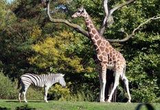Giraf-zebra Stock Afbeelding