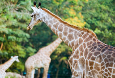 Giraf in the Zoo Royalty Free Stock Photos